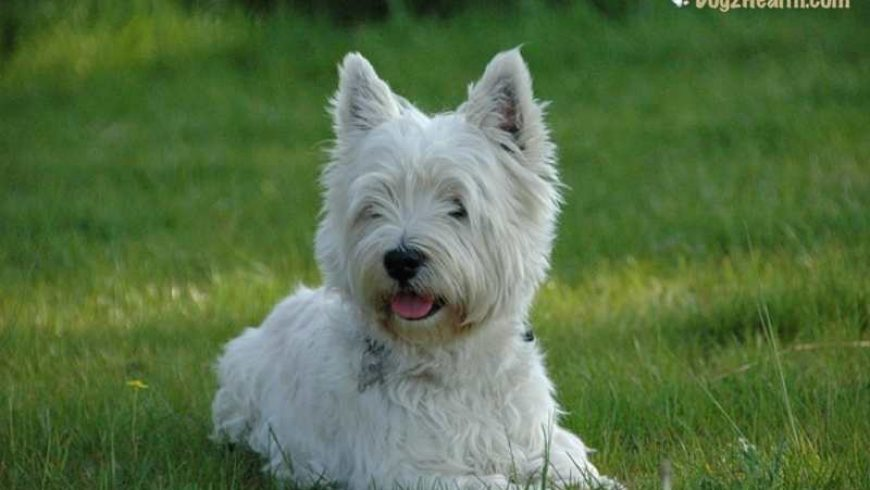 Abscess in Dogs