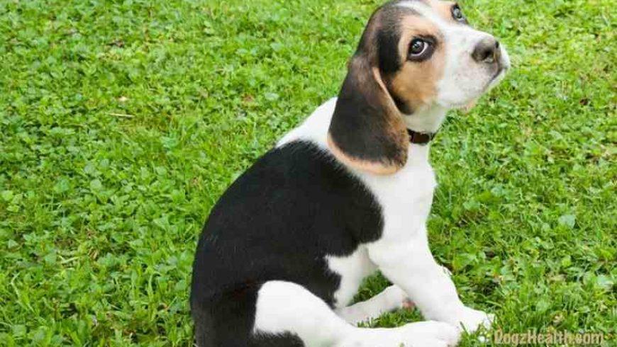 Canine Anal Glands