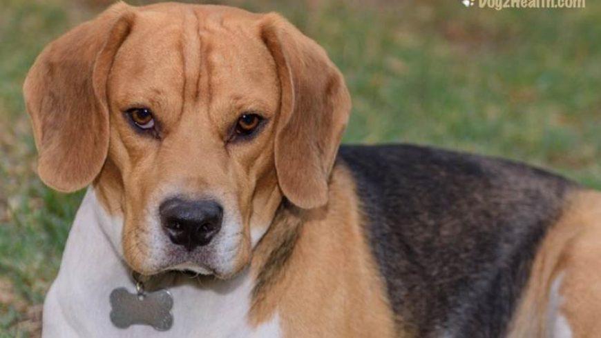 Canine Atopy (Atopic Dermatitis)