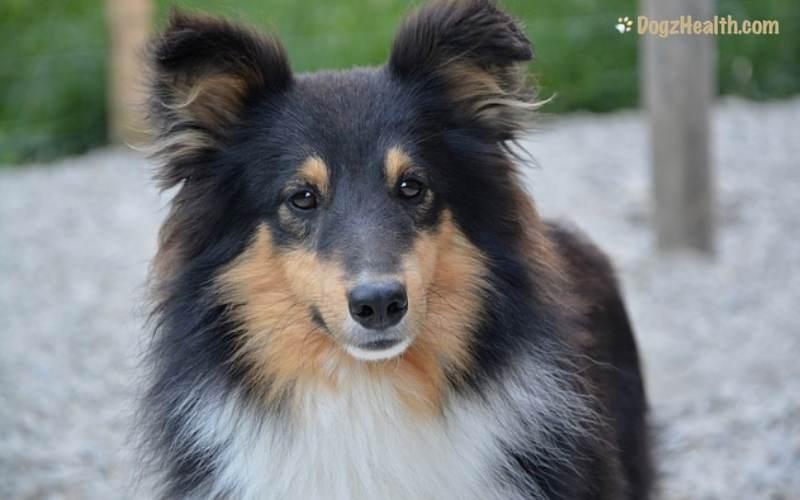 Canine Blastomycosis