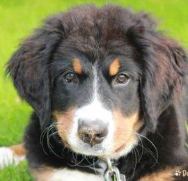 Canine Colitis