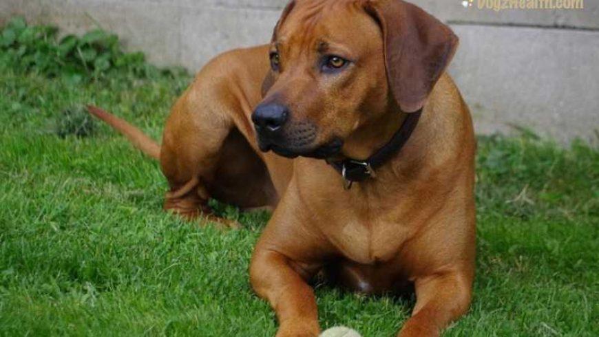 Canine Liver Problems