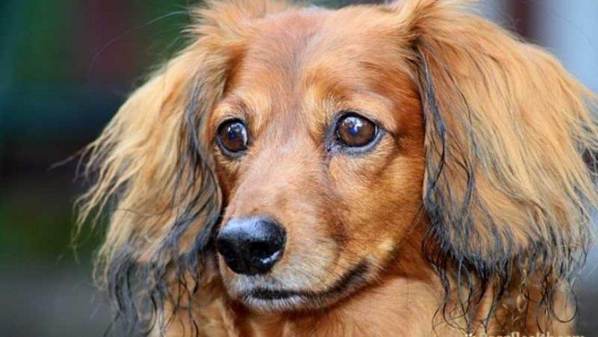 Canine Liver Shunt
