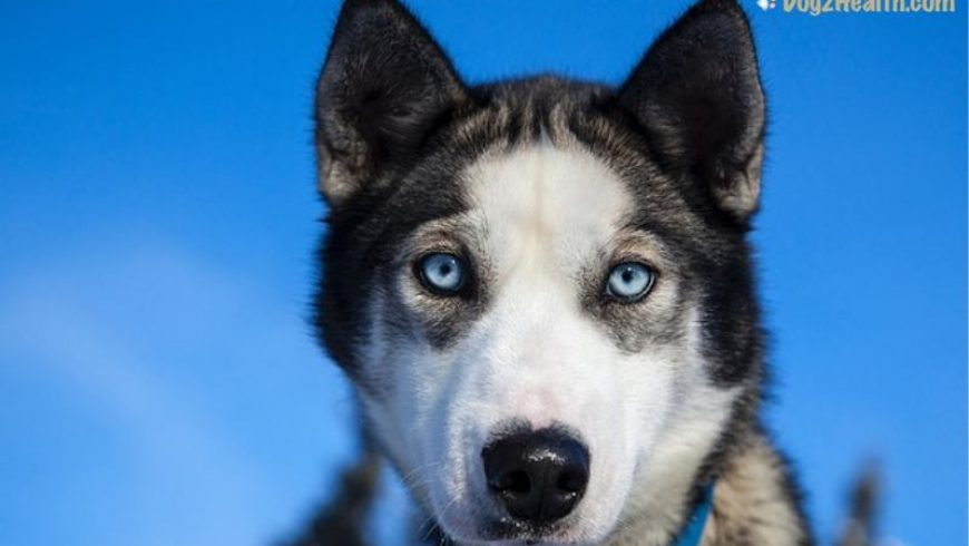 Canine Melanoma