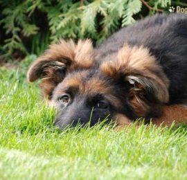 Canine Pancreatic Cancer