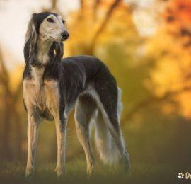 Canine Spleen Cancer