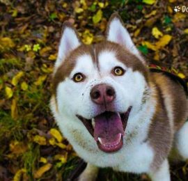 Canine Urinary Incontinence
