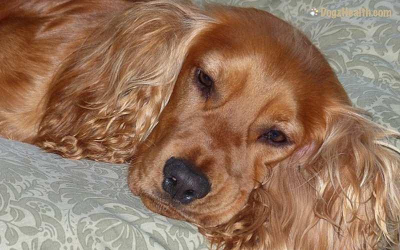 Canine Vestibular Disease