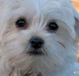 Demodectic Mange in Dogs