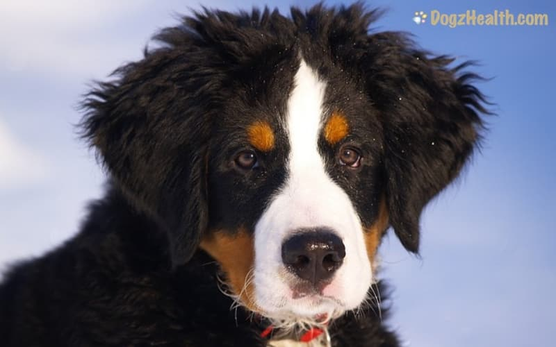 Dog Runny Nose