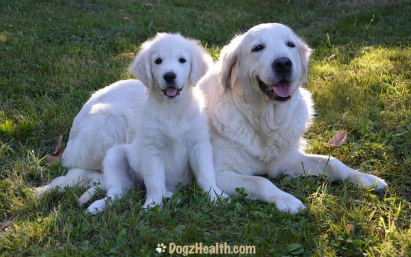 Golden Retriever Health Problems
