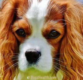 Leukemia in Dogs