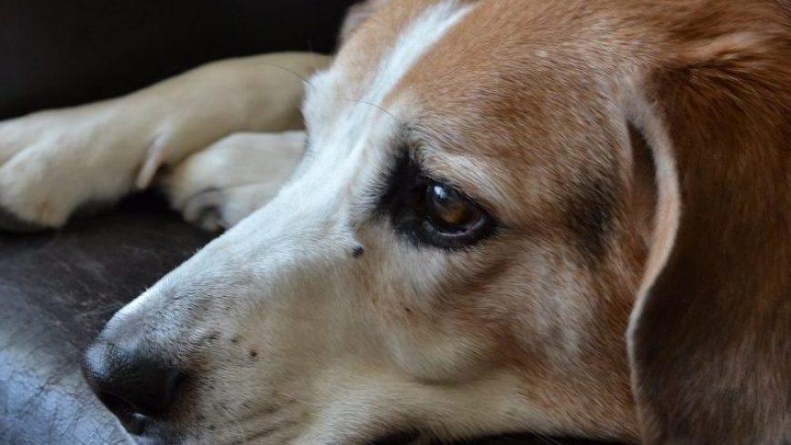 Canine Depression