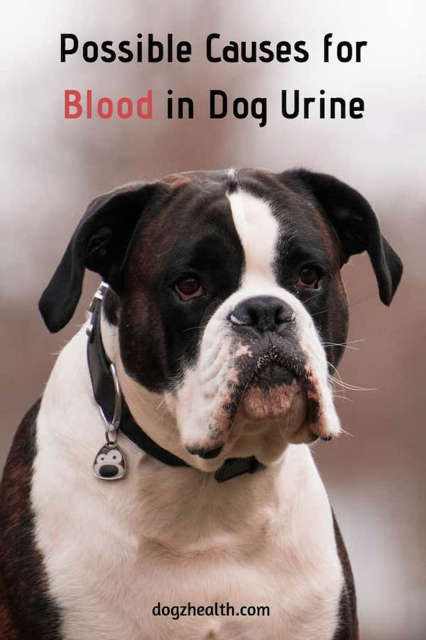 Causes of Blood in Dog Urine
