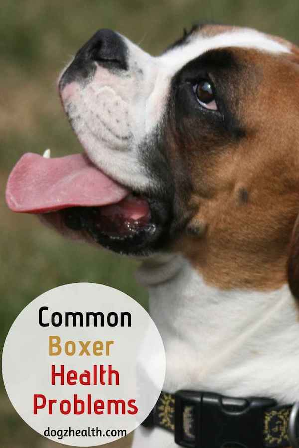 Common Boxer Health Problems