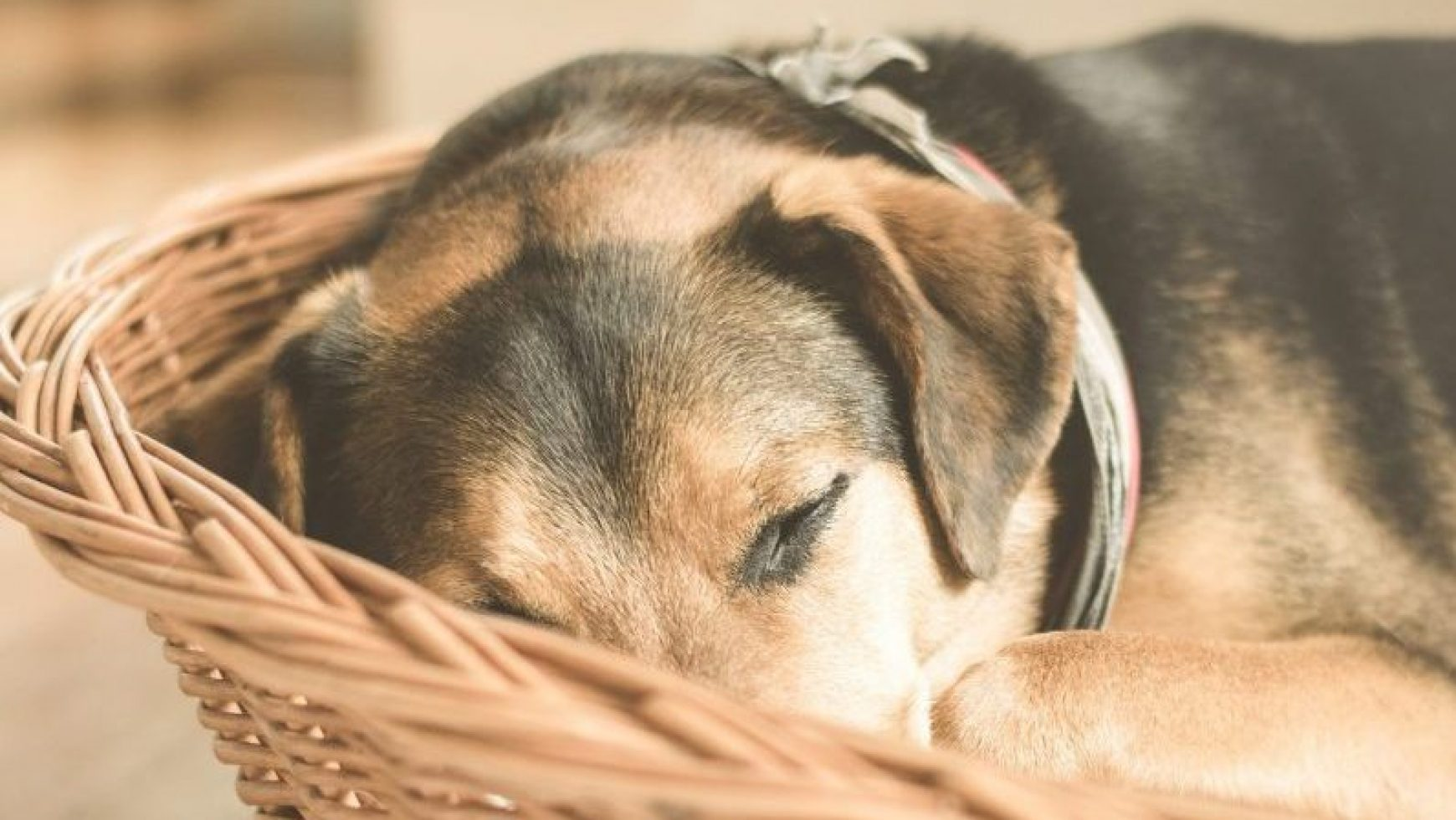 Canine Cancer Diet
