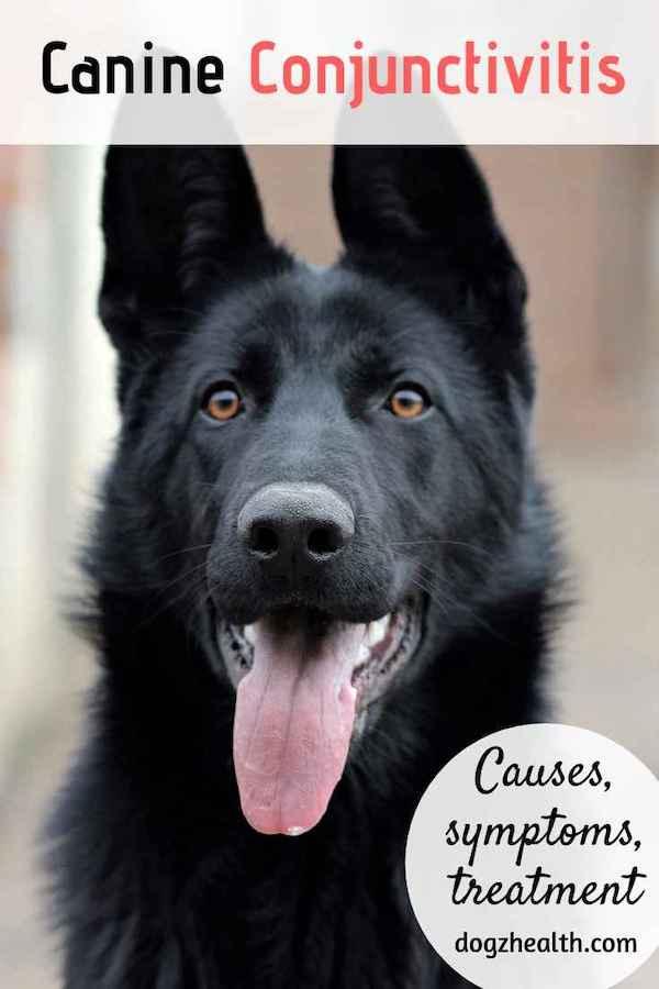 Canine Conjunctivitis