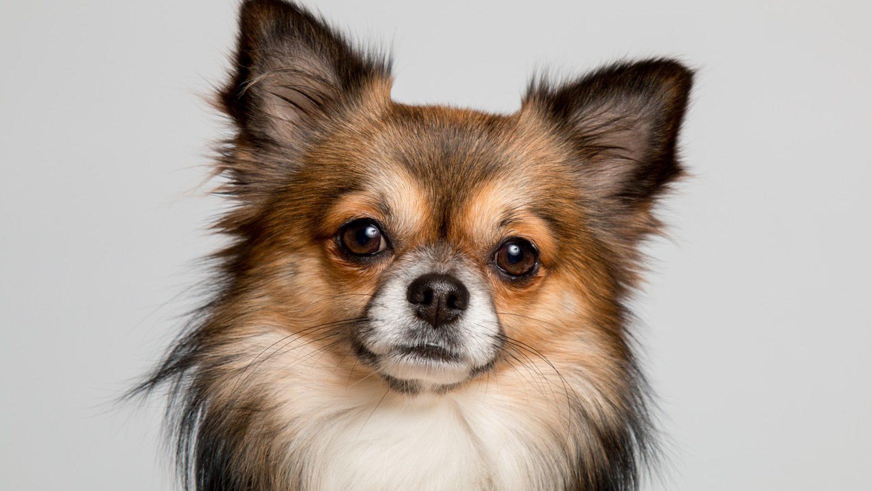 Chihuahua Health Problems