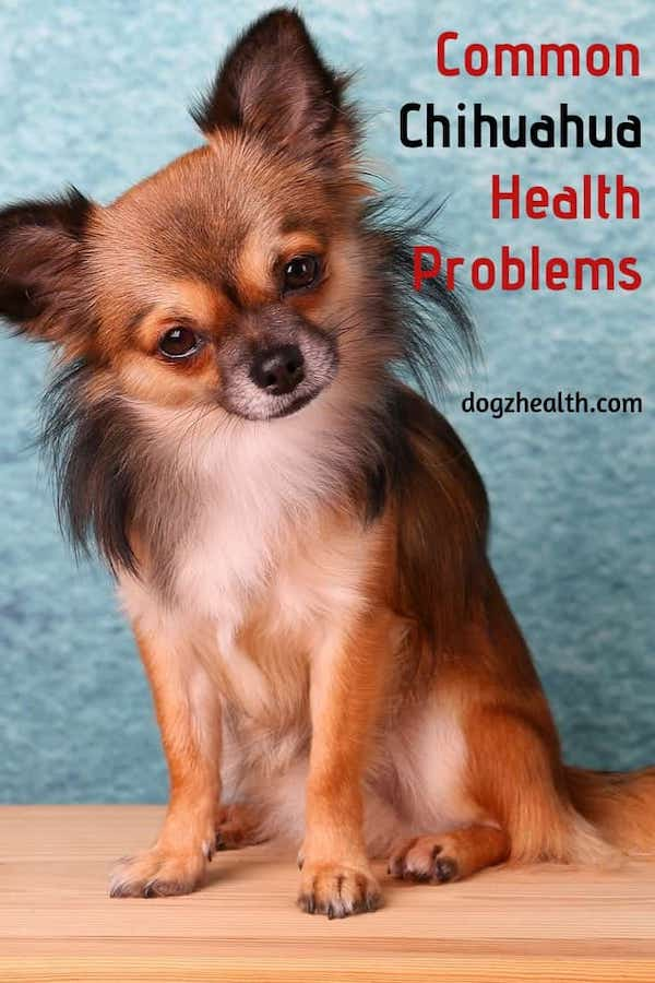 Common Chihuahua Health Problems