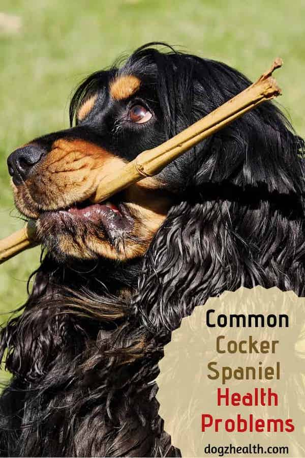 Common Cocker Spaniel Health Problems