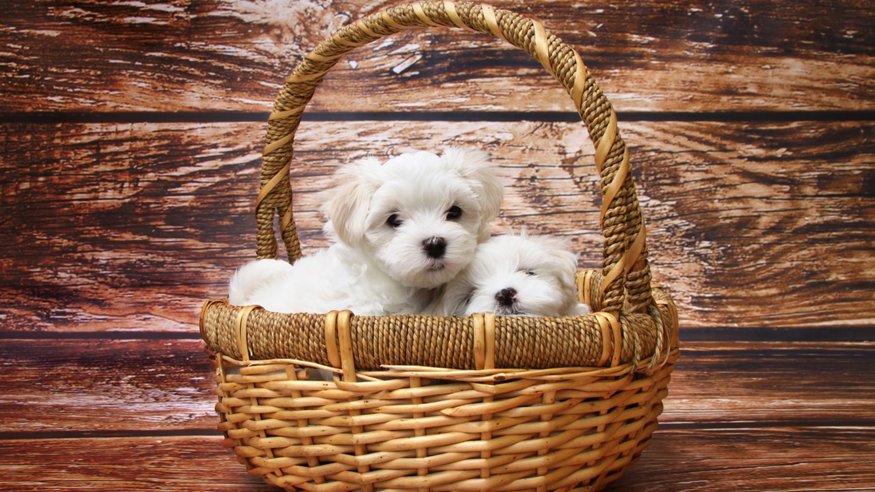 Treating Parvo in Dogs and Puppies