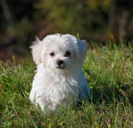 Canine Luxating Patella