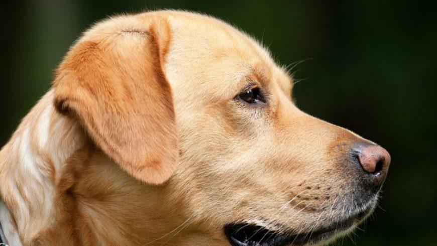 Canine Dementia