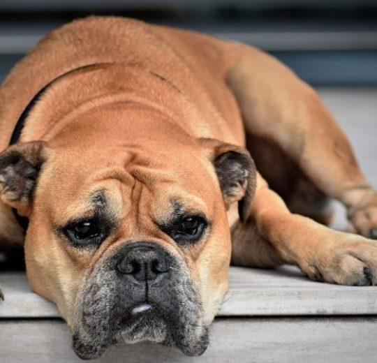 Prednisone for Dogs