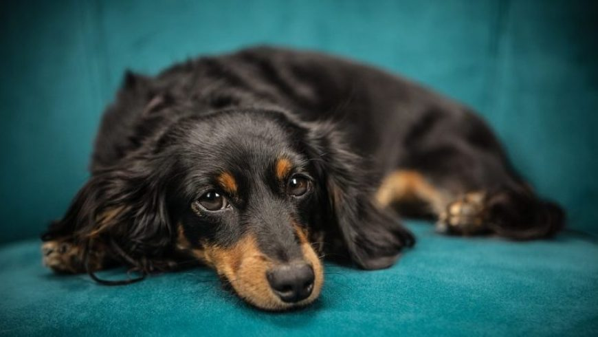 Canine Lung Cancer