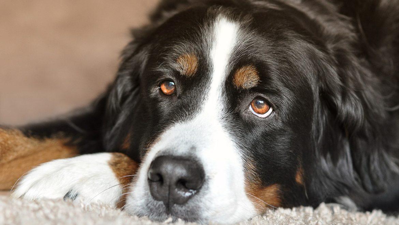 Osteoarthritis in Dogs