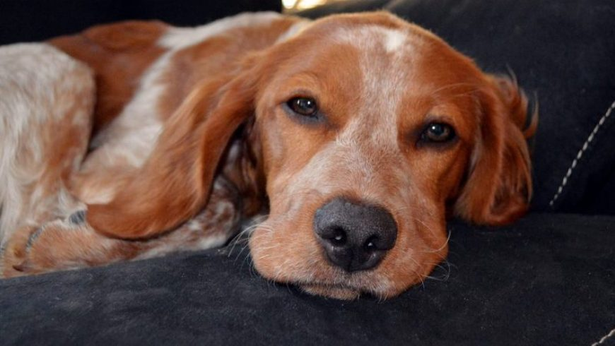 Hearing Loss in Dogs