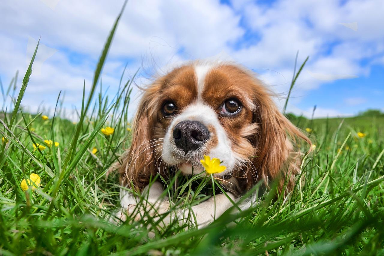 Parvovirus In Dogs And Puppies Intestinal And Cardiac Parvo
