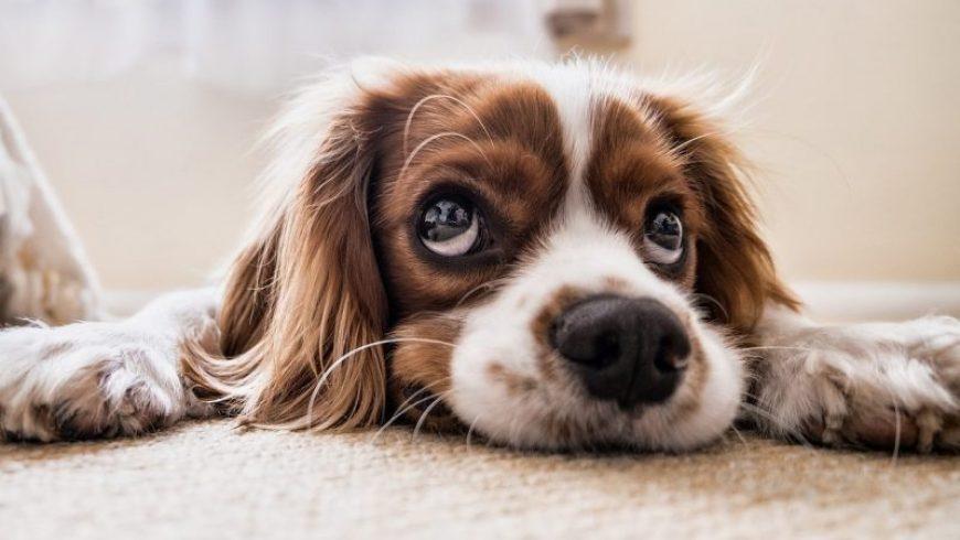 Dog Flea Allergies