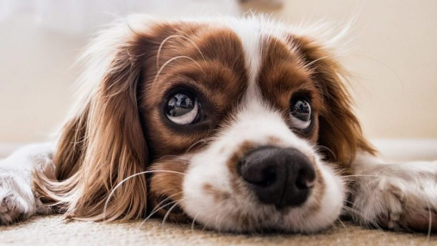 Dog Nose Bleed Causes and Treatment