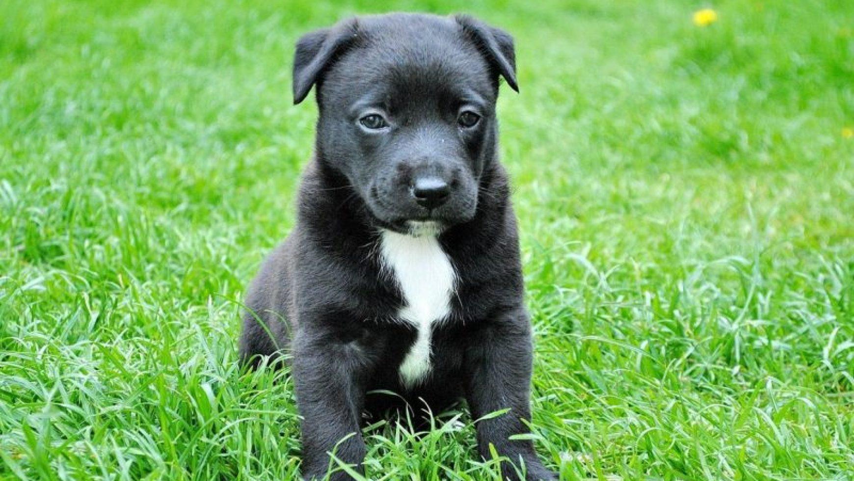 Puppy Hernia