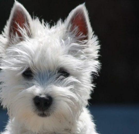 Dog Illnesses And Dog Disease Symptoms