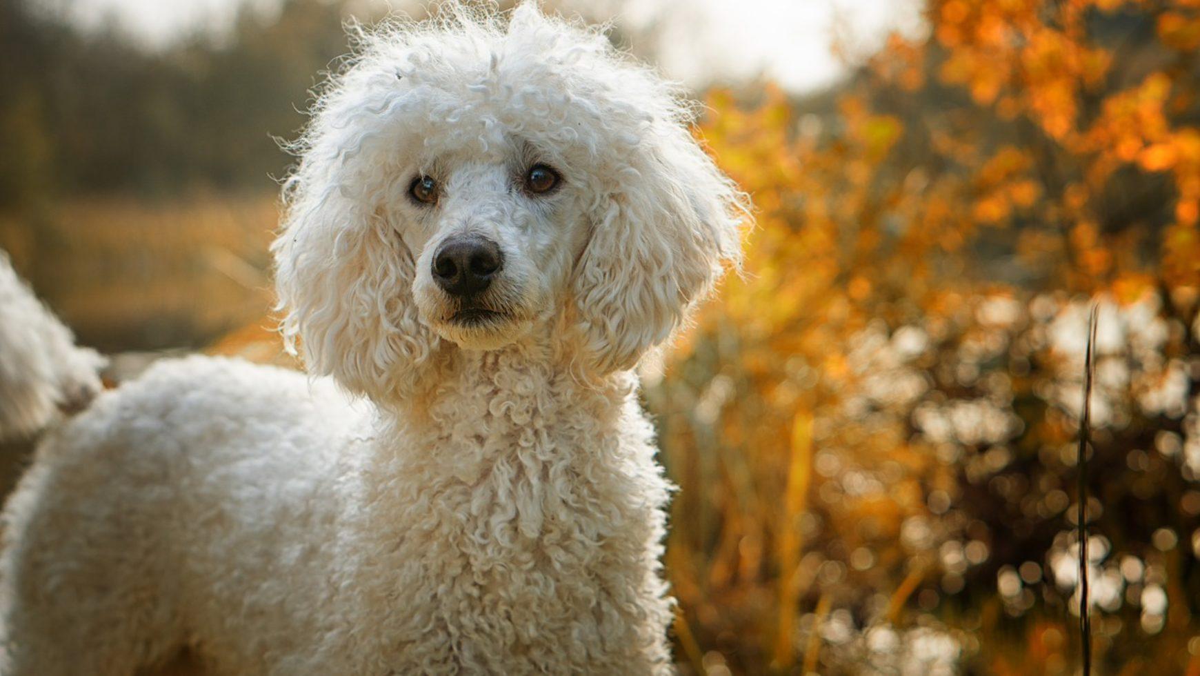Pemphigus in Dogs