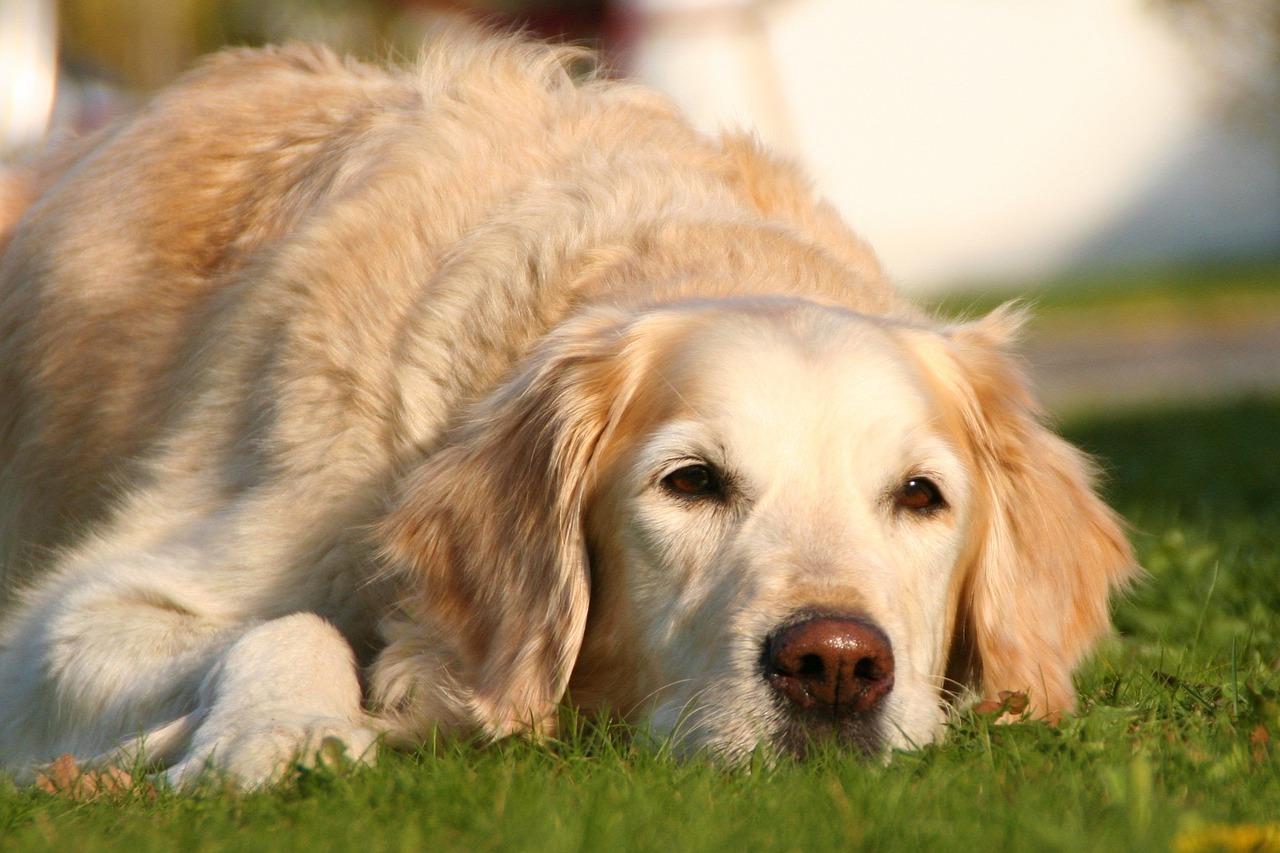 Acral Lick Granuloma in Dogs