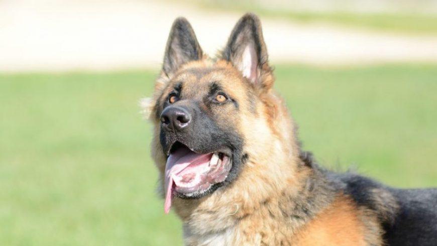 Canine Mast Cell Tumors