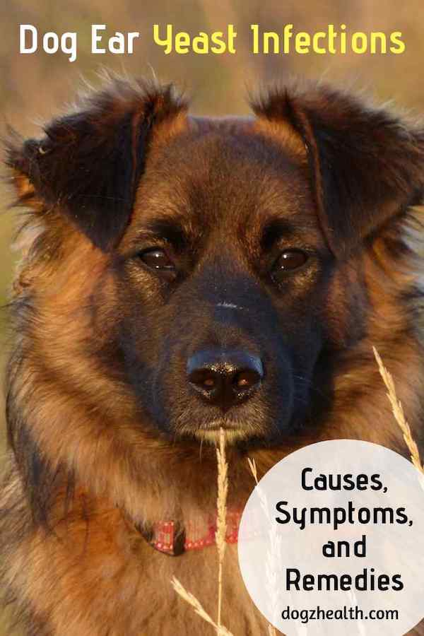 Dog Ear Yeast Infection Causes