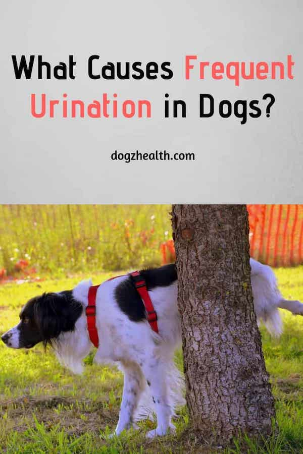 Reasons for Dog Frequent Urination