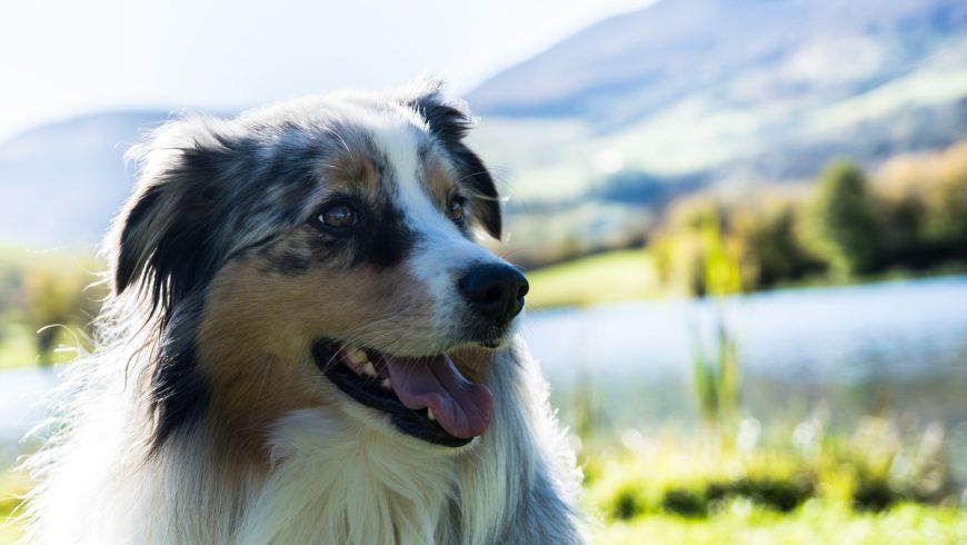 Canine Ehrlichiosis