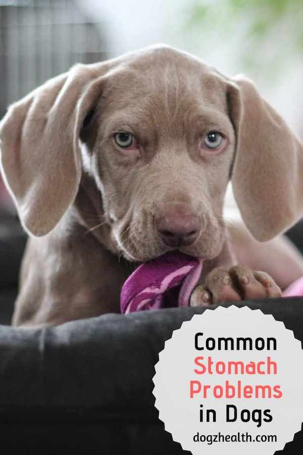 Common Dog Stomach Problems