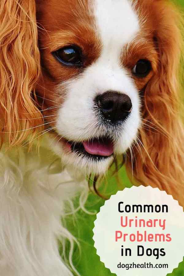 Common Dog Urinary Problems