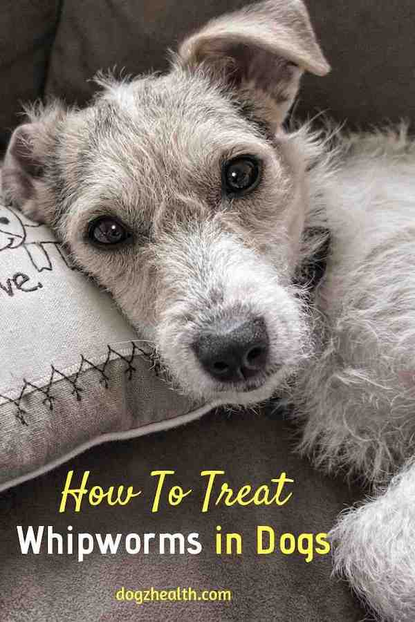 Treating Dog Whipworm Infestation