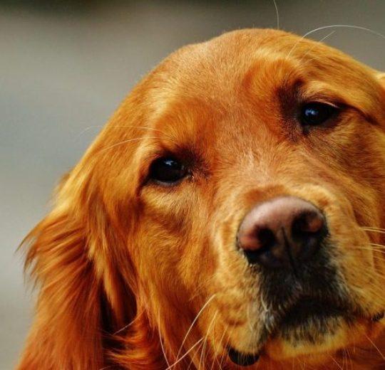 Canine Dandruff