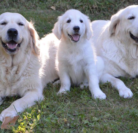 Canine Liver Failure