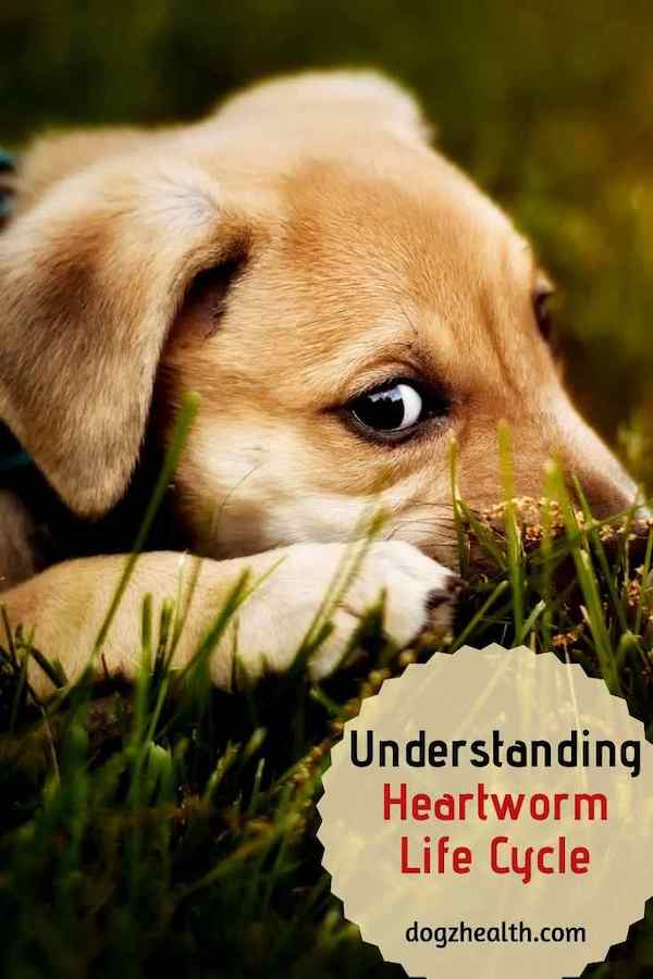 Understanding Heartworm Lifecycle