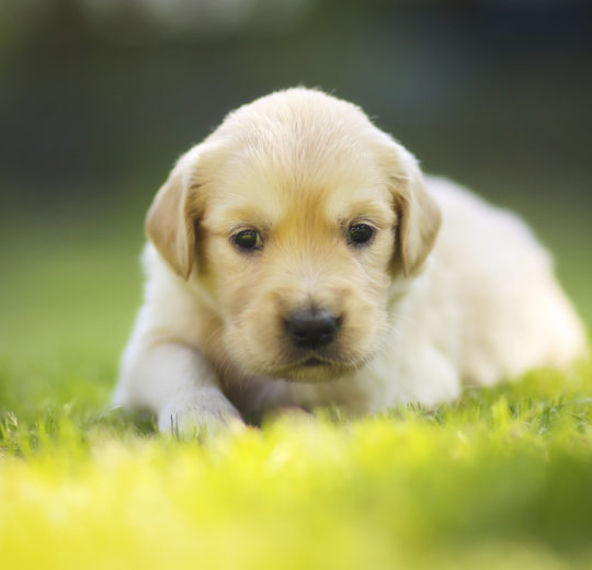 Puppy Teething Pain