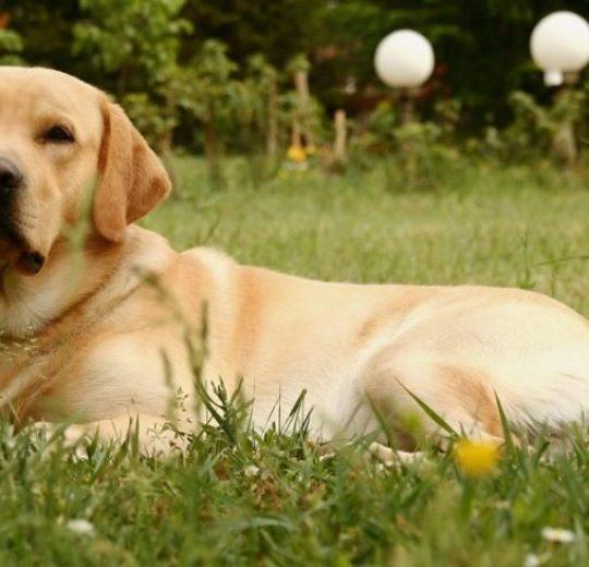 Canine Brain Tumors